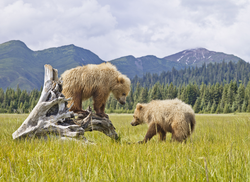 Two natives bears play on the Alaskan plains