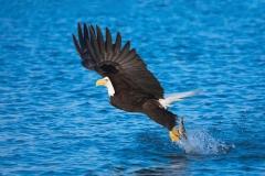 A bald eagle catching its prey in Alaska