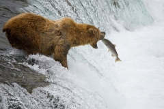 A native bear catches salmon in the rivers of Alaska