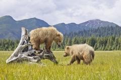 Two natives bears play on the Alaskan plains