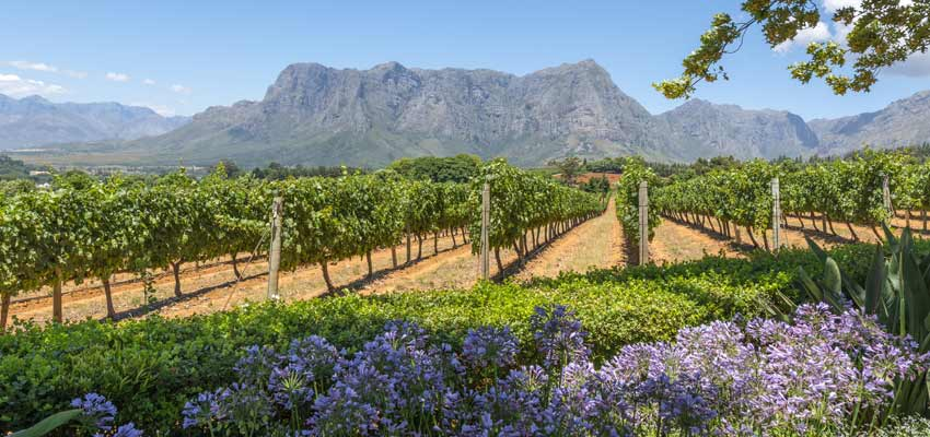 The beautiful vineyards of Cape Town