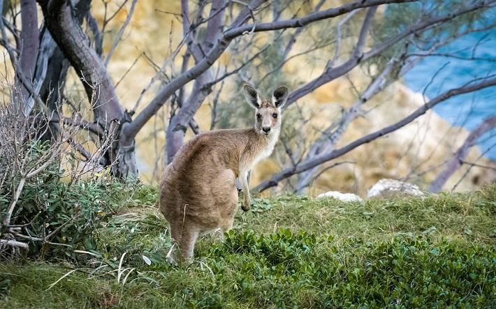 Kangaroo on an Australian cruise excursion to Kangaroo Island