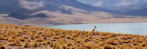 An alpaca standing in a vast mountain landscape in Peru