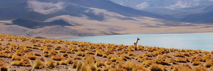 An alpaca standing in a vast mountain landscape in Peru