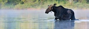 Moose wading into the middle of a river in Alaska