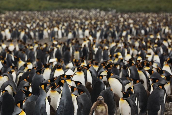 A huge group of emperor penguins huddling together in Antarctica