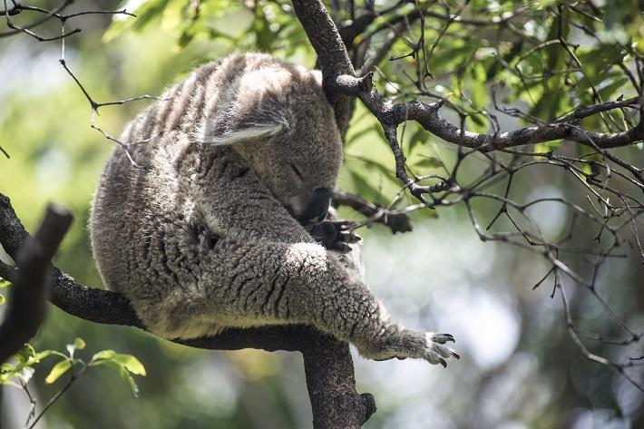 A koala sleeping in a tree in Australia