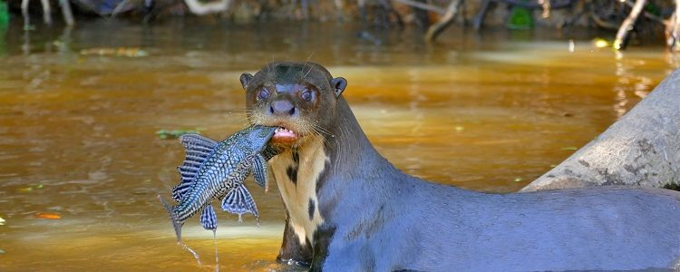 Giant otter fishing in a river in Brazil's Pantanal