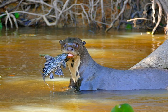 Giant otter standing in a river in Brazil with a fish in itself