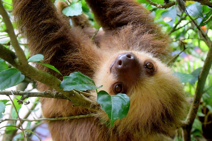 Close-up of a sloth hanging from a tree in the Costa Rican jungle