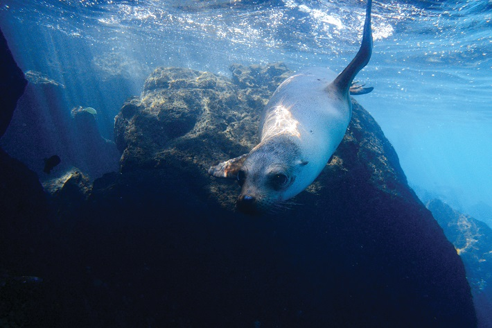Fur seal swimming towards camera in the Galapagos Islands
