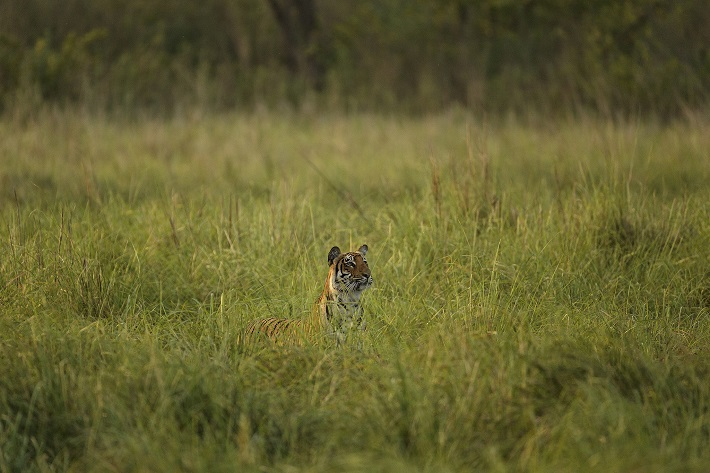 Bengal tiger peering up out of long grass in India