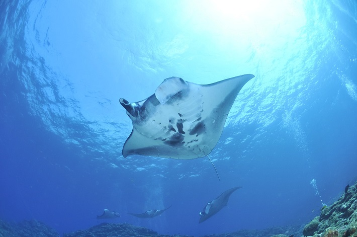 Manta ray swimming above the camera in the Indian Ocean