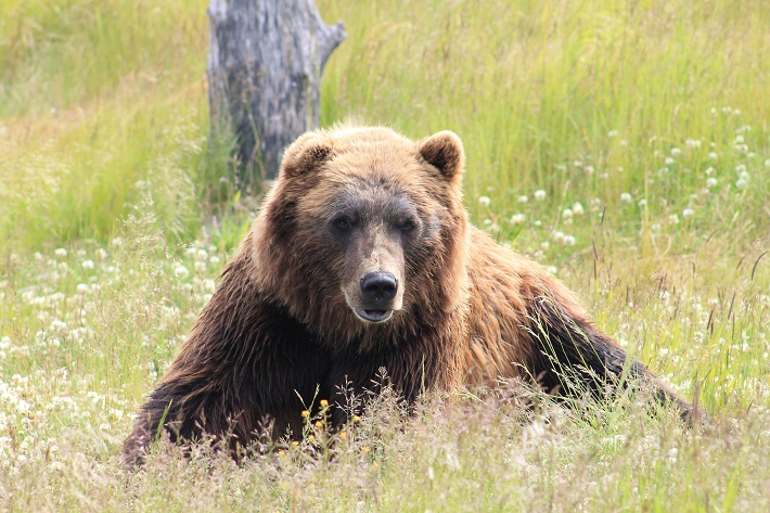 Brown bear relaxing in the grass in the mountains of Spain