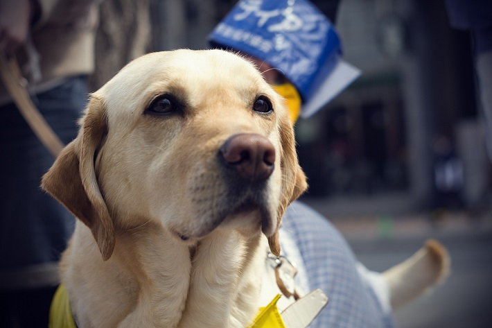 Golden Labrador guide dog on-board an accessible cruise ship