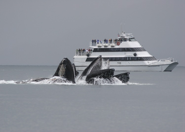 Humpback whale feeding in front of a cruise ship during an excursion