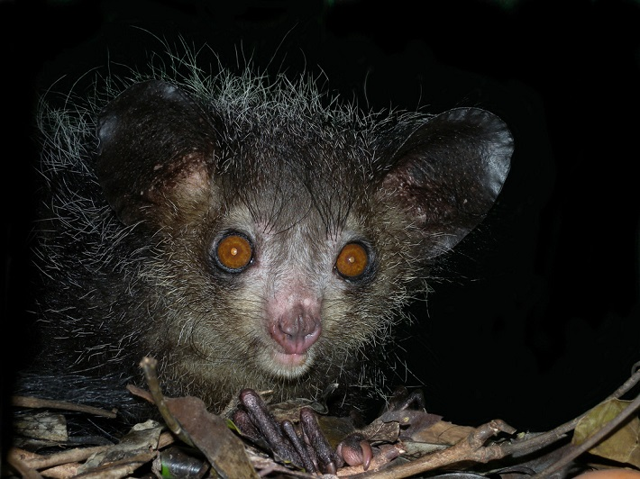 An aye-aye climbing through the canopy in the Madagascan rainforest