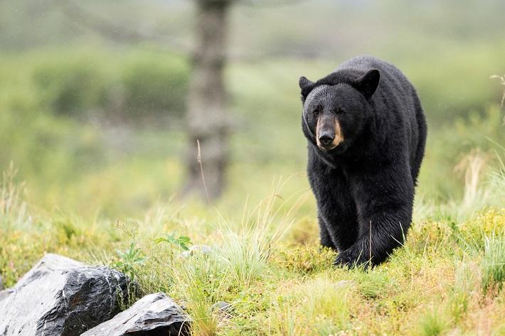 A brown bear walking across a forest landscape towards camera in Alaska