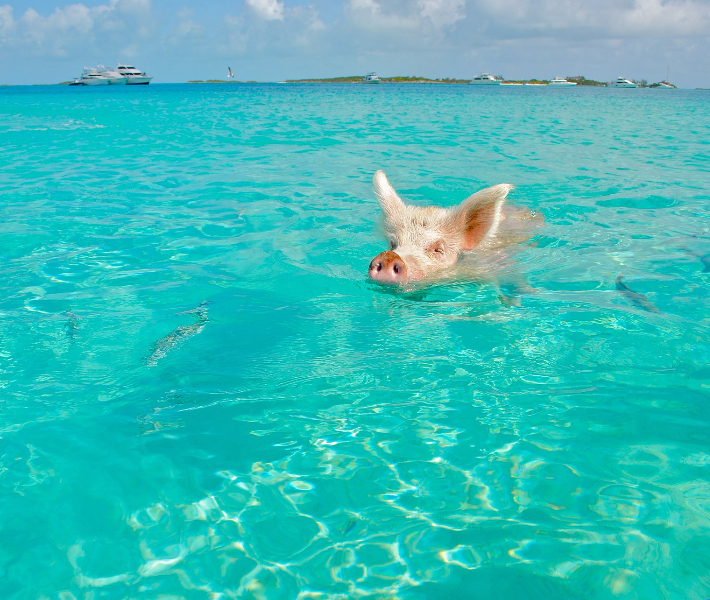 A pig swimming in the bright blue sea of the Bahamas