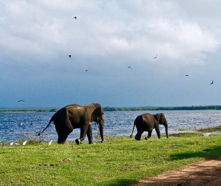 Elephants walking along a river bank in Colombo