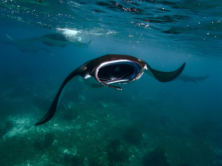 A manta ray swimming towards camera off Komodo National Park