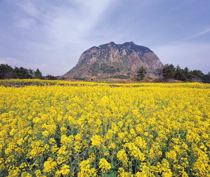 A volcano on the other side of a field of yellow flowers in Jeju Island in South Korea