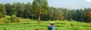 A local farmer walking through a rice field on Java in Indonesia