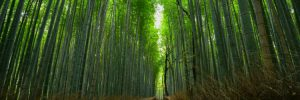 A Geisha walking through the Arashiyama bamboo forest in Kyoto