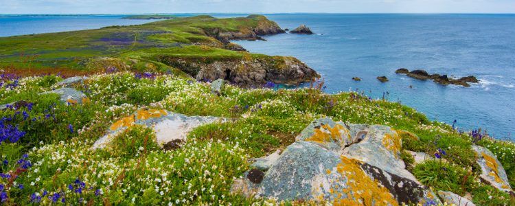 Wildflowers on a coastal cliff overlooking the sea in Ireland