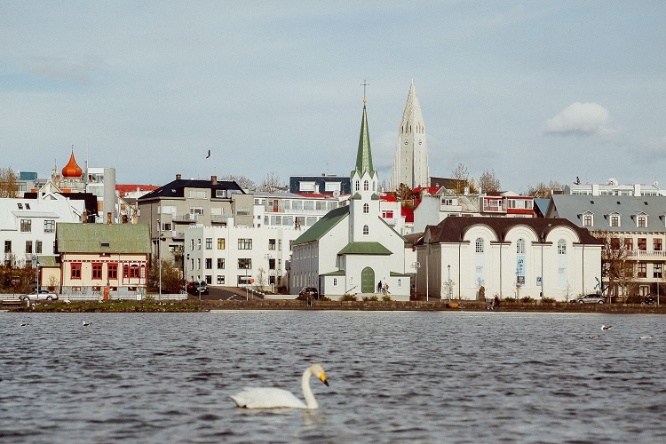 A whopper swan swimming along Lake Tjornin in Reykjavik