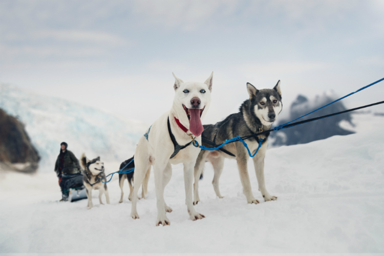 Huskies ready for a dog sledding excursion during an Alaska cruise