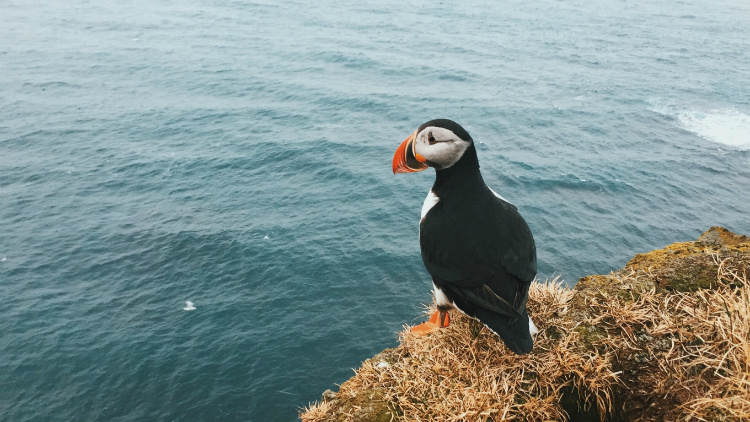 A puffin standing on a cliff edge in the popular cruise destination of Iceland