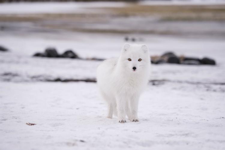 Arctic fox Iceland