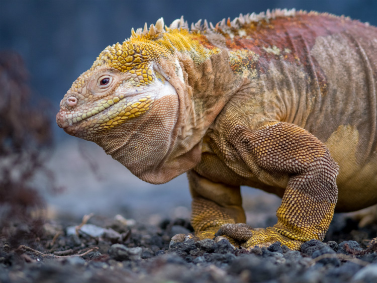 A Galapagos land iguana with yellow scales walking across volcanic rock