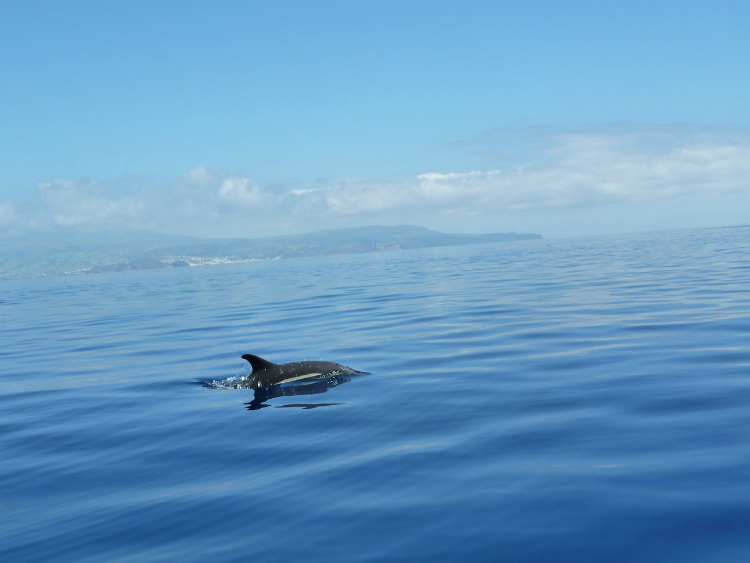 A dolphin leaping out of the water off the Azores archipelago