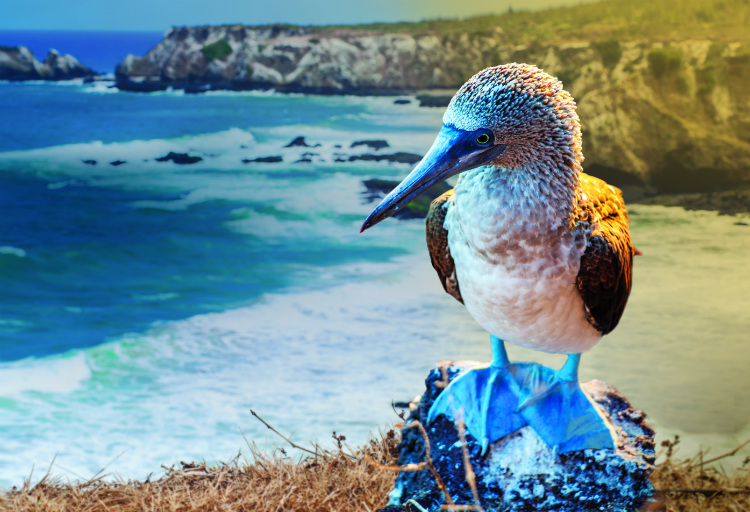 A blue-footed booby bird standing on a rock on a beach in the Galapagos