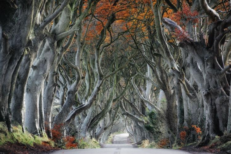Beech tree-lined road - Armoy, Ireland