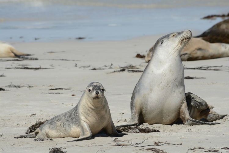 Wildlife in Kangaroo Island