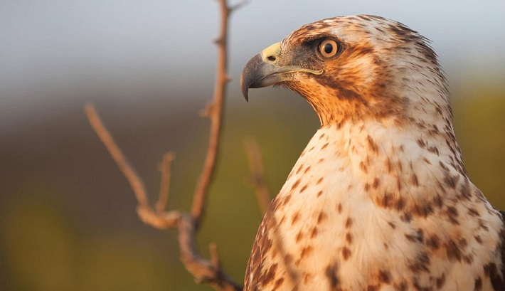 Portrait of a Galapagos hawk