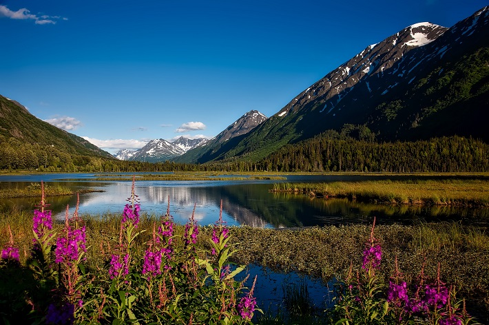 Wildflowers and lush grass blooming in front of a lake in Alaska during spring