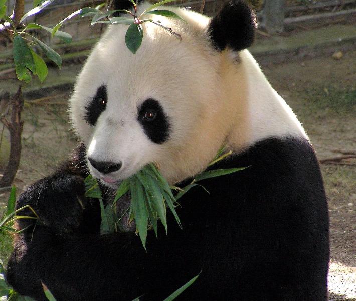 Panda in Asia - an increasingly popular river cruise destination
