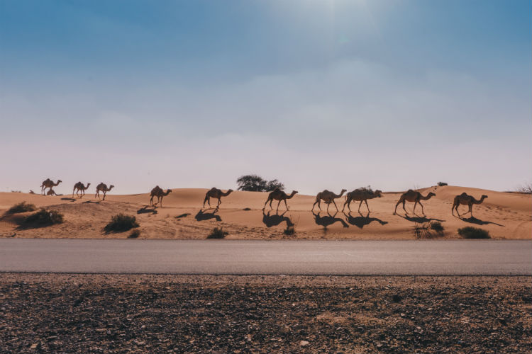 Camels in the desert - Dubai, Middle East