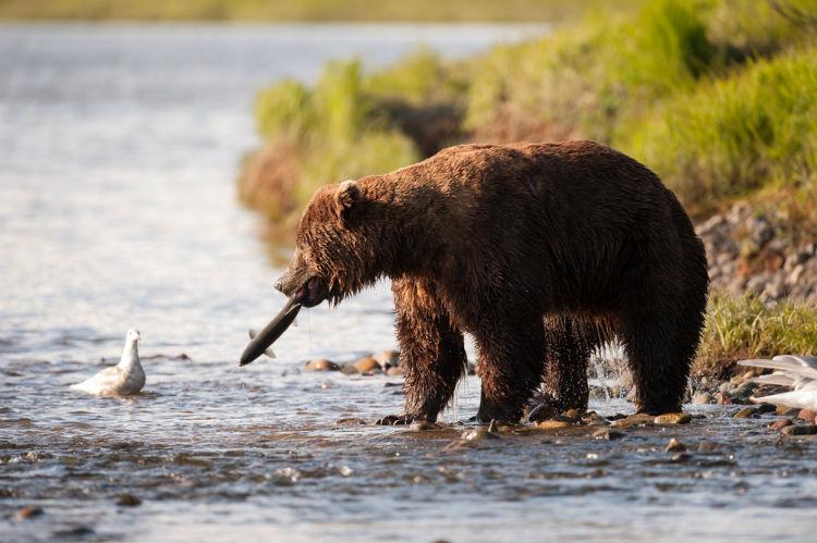 Brown bear - Alaskan wildlife