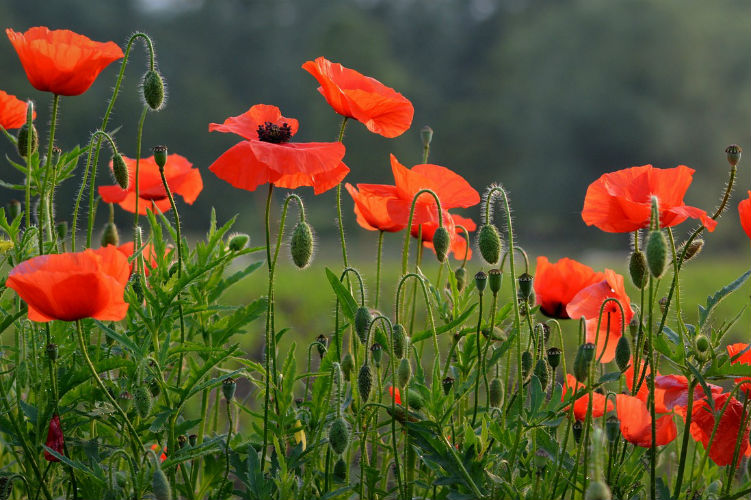 Poppies - Red flower - Symbol of WW1